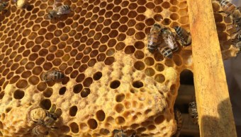 Alertan sobre disminución de abejas por pesticidas en Veracruz