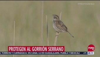 Buscan Proteger Al Gorrión Serrano CDMX