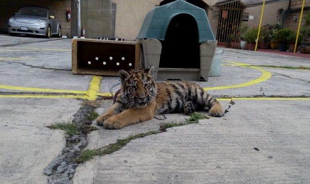 Aseguran tigre siberiano en restaurante de CDMX
