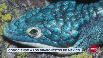 Conociendo Al Dragoncito Azul, Dragoncito Azul, Dragoncitos, Lagartijas Endémicas De México Y Centroamérica, Popularidad En Redes Sociales, Escamas Y Colores Brillantes, Conabio