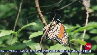 El paso de la mariposa monarca por Guanajuato