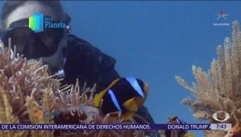 El pez payaso en 'Los jardines del mar'