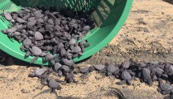 liberan 15 mil crias de tortuga en ixtapilla michoacan
