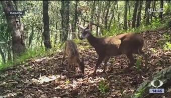 Oaxaca ayuda a especies en peligro extinción