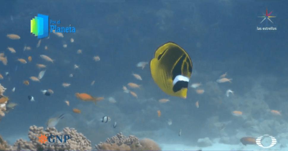 Peces mariposa en la Isla Vamizi. (Noticieros Televisa)