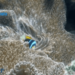 Anémonas y pez payaso, romance de la Isla Vamizi