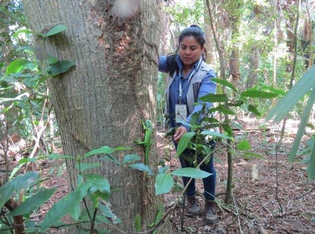 Liberan a 63 iguanas en la Biosfera La Encrucijada, en Chiapas