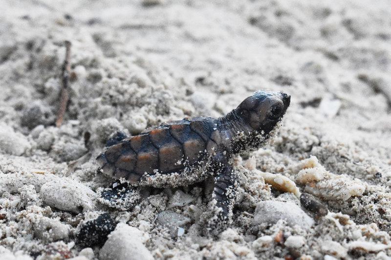 tortugas desovan playa escobilla oaxaca santuario