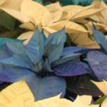 Producen flor de Nochebuena de diferente tipo de colores en Puebla