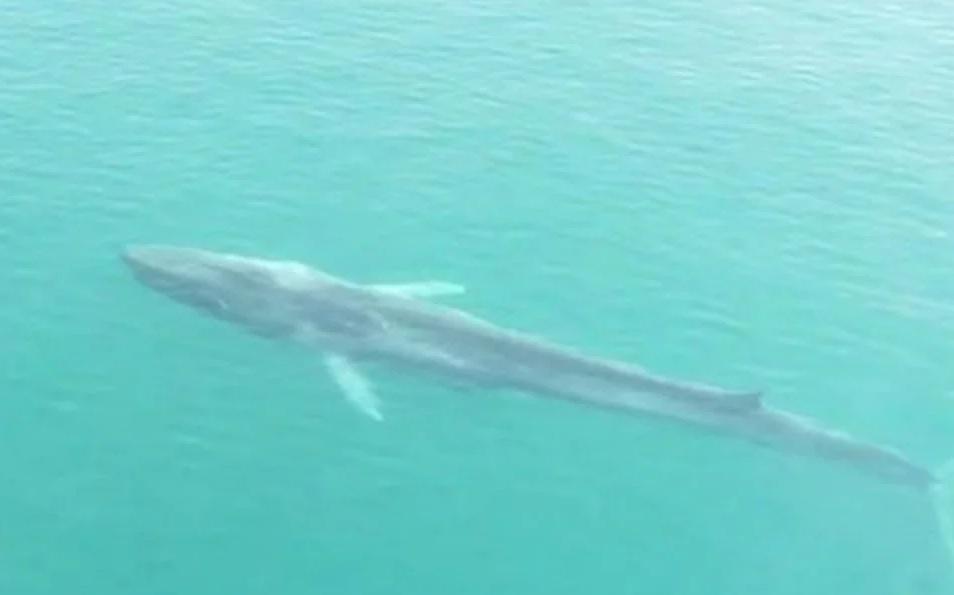 Muere en el Caribe de Honduras, Gran Berta, la ballena de 21 metros de largo