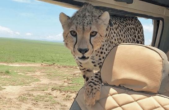 Foto: Guepardo se mete a vehículo en Tanzania, durante zafari, 30 marzo 2018, Tanzania