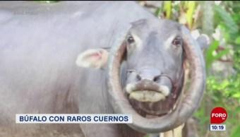 #LoQueVimosEnLaRed: Búfalo con raros cuernos