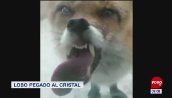 #LoQueVimosEnLaRed: Lobo pegado al cristal de su sala