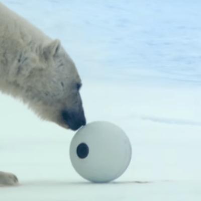 VIDEO: Osos polares