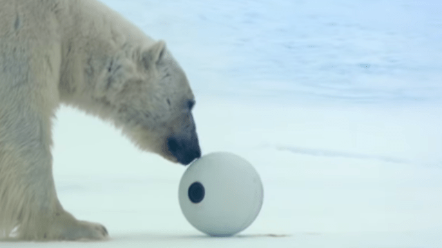 Video Osos Polares Juegan Futbol Cámara