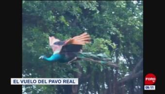 #LoQueVimosEnLaRed: El vuelo del pavo real