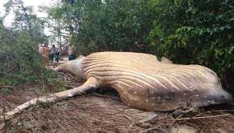 foto aparece cadáver de ballena jorobada en el Amazonas 23 febrero 2019
