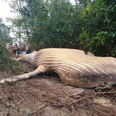 Fotos y video: Aparece cadáver de ballena jorobada en el Amazonas