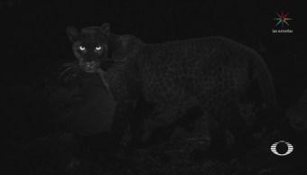FOTO: Cámara trampa capta imágenes de un leopardo negro en Kenia, 13 FEBRERO 2019