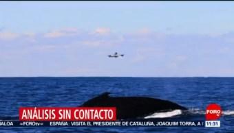 Científicos darán seguimiento a salud ballenas jorobadas de forma menos invasiva