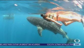 El tiburón ballena, el pez más grande del mundo