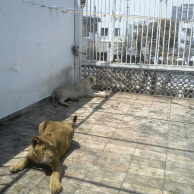 Aseguran leones de una azotea y los trasladan a santuario