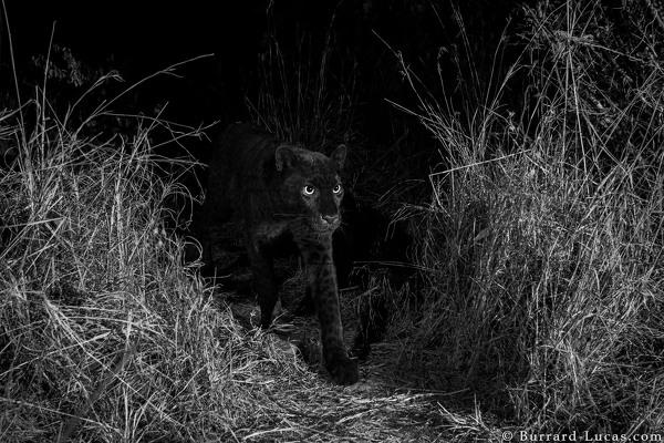 foto leopardo negro kenia 2