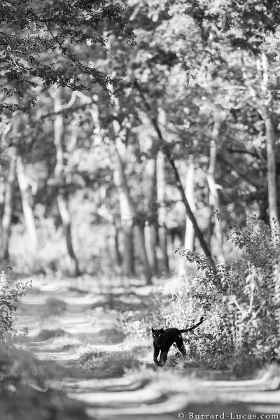 foto leopardo negro kenia 1