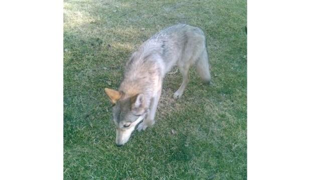 Foto: Resguardan a ejemplar parecido a un lobo, que deambulaba, en el Zoológico de San Juan de Aragón, febrero 3 de 2019 (Twitter: @SEDEMA_CDMX)