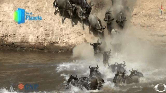 Foto: Migración de ñus en África, febrero de 2019