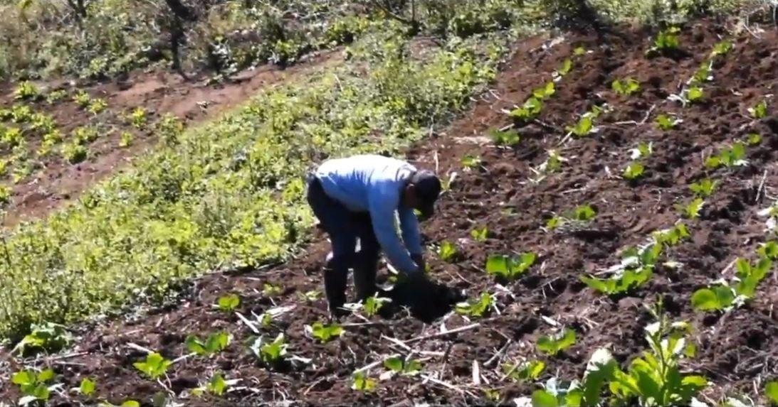"""Gobierno federal pagará 5 mil pesos al productor de campo por su trabajo a través del programa """"Sembrando vida"""", 1 febrero 2019"""