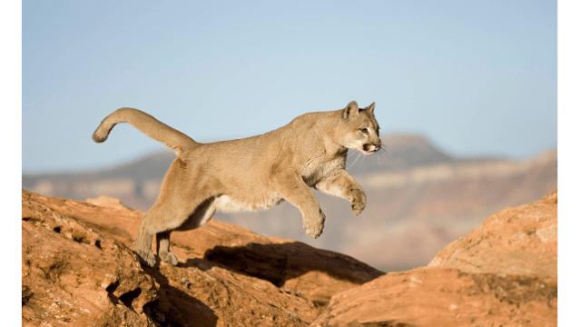 Foto: Puma en América del Norte