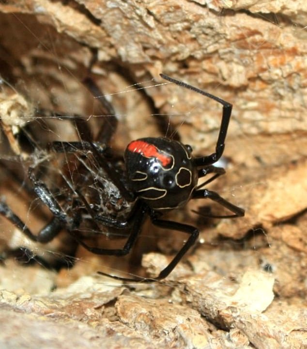 foto viuda negra araña sudafrica