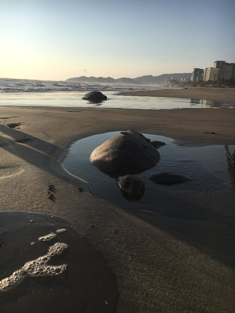 Investigan muerte de tortugas en playas de Guerrero