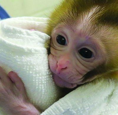 Un bebé mono, la clave para preservar la fertilidad de niños con cáncer