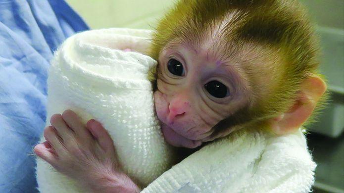 Baby Grady es la primera primate que nació con un tratamiento para prevenir la infertilidad en organismos masculinos (AFP)