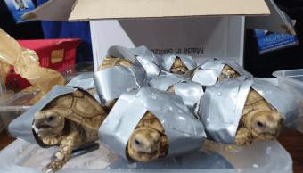 Foto: Tortugas halladas con cinta adhesiva en Manila, 4 de marzo de 2019, Filipinas