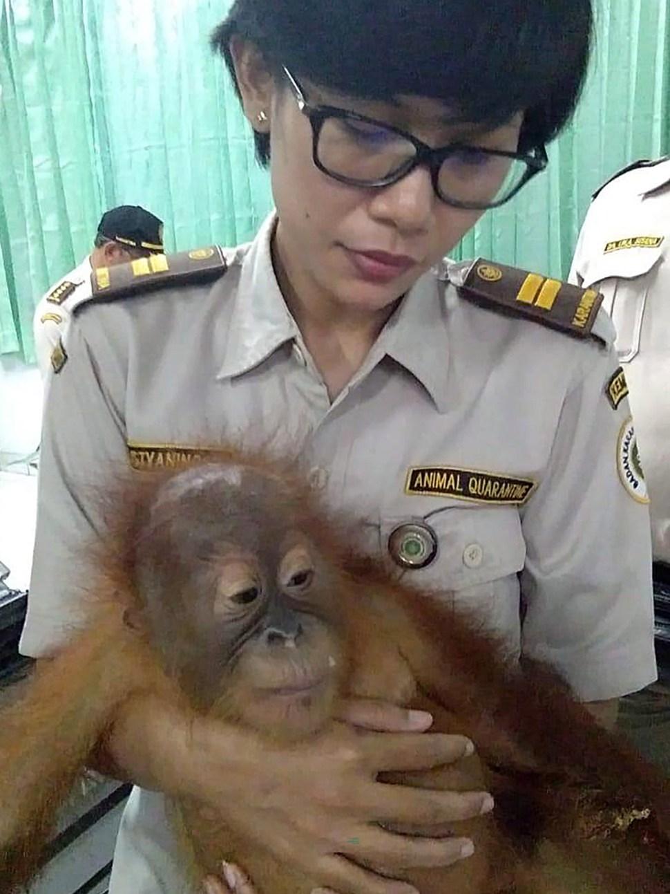 Foto: Agentes de aduanas encontraron a un orangután, de 2 años, sedado en una canasta de ratán, 24 marzo 2019