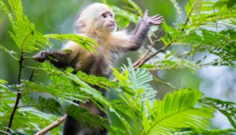 Monos capuchino, maicero y aullador rojo, identificados como portadores del zika