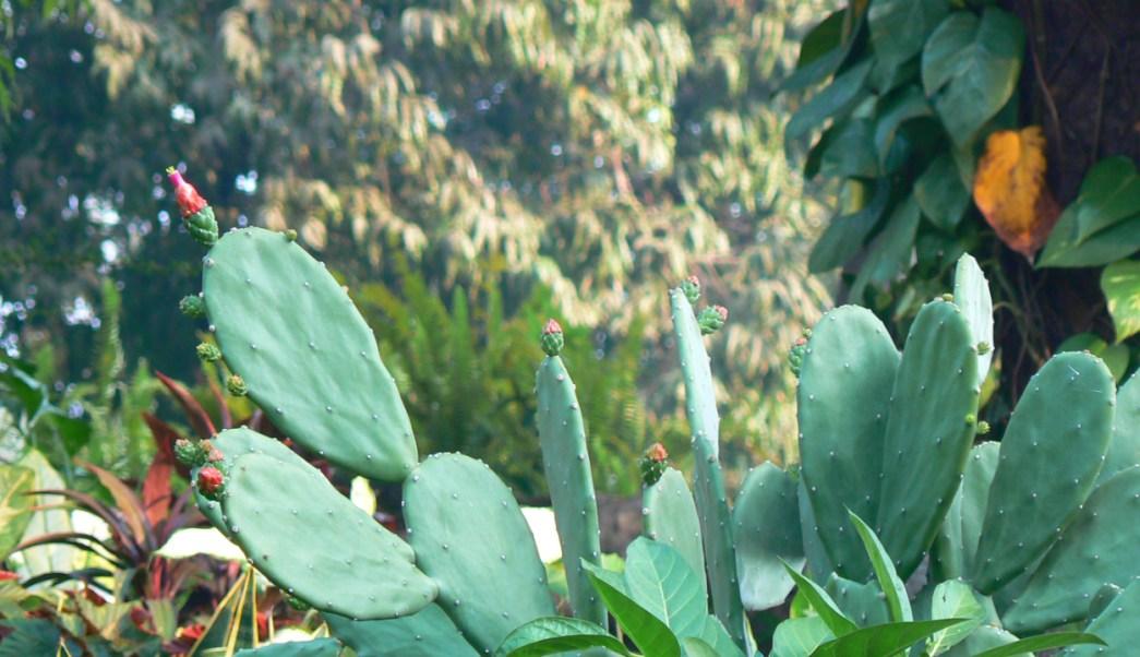 Nopal, Tuna, El nopal, Africa, propiedades, beneficios, nopal propiedades, nopal beneficios, nopales, nopal para que sirve, para que sirve el nopal, Ciudad de México, 8 de marzo 2019