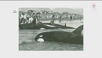 Foto: Orcas Encontradas Chile Nueva Especie 11 de Marzo 2019