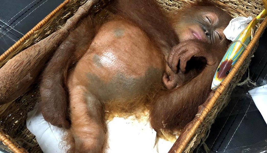 Foto: El orangután estaba sedado en una canasta de ratán, 24 marzo 2019