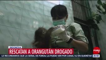 FOTO:Rescatan a orangután drogado en Indonesia, 23 Marzo 2019