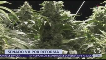 Senado va por reforma para liberar producción, venta y consumo de marihuana