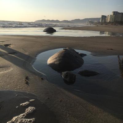 Ambientalistas denuncian muerte de tortugas en costas de Guerrero