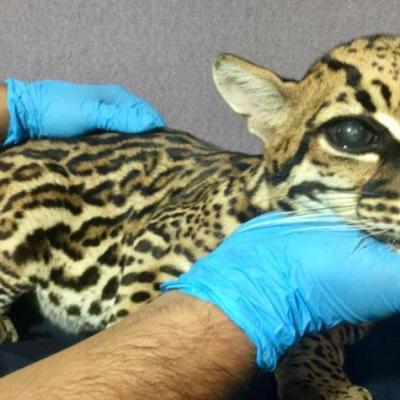 Amputan colmillos a leopardo para domesticarlo
