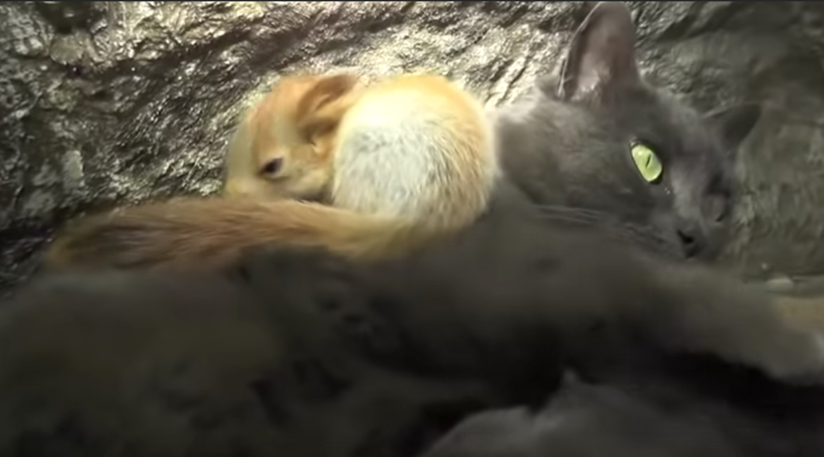 ardillas-huerfanas-madre-gata-Crimea-amamantar