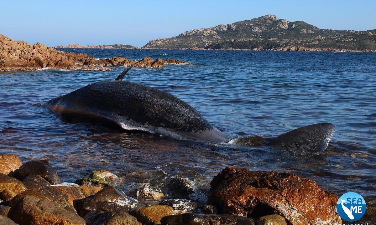 foto Encuentran muerta a ballena embarazada con plástico en el estómago 1 abril 2019