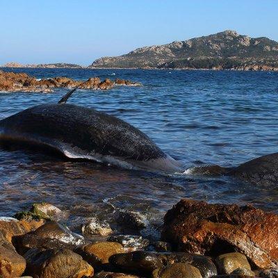 Encuentran muerta a ballena embarazada con plástico en el estómago