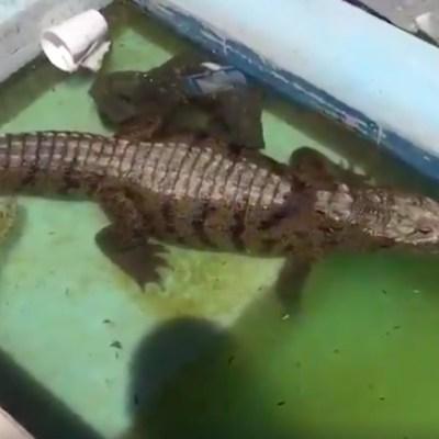 Hallan a un cocodrilo en una alberca en Cadereyta, NL